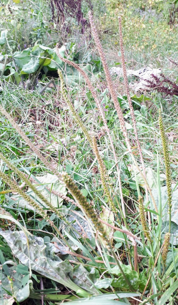 Plantain- the tall darker seeds stalks are ready to be harvested