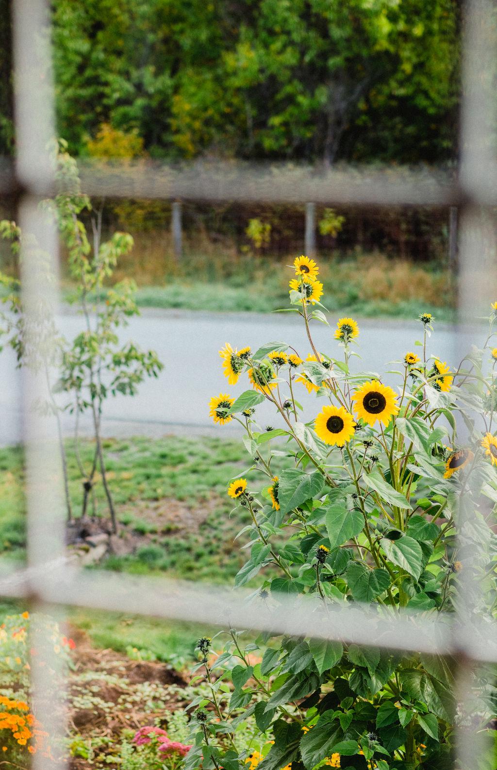 Sunflower window photo credit: Jessie McNaught